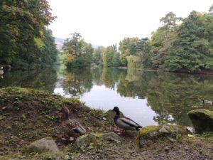 Echte Enten vor dem Schlossteich Lac.
